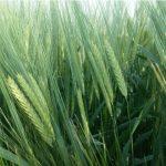 Barley-11-2