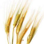 Barley on white