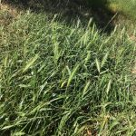 Strathewan Barley Grass 2